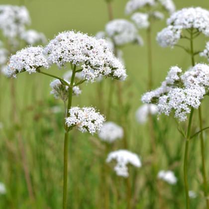 Bedrník obecný - osivo Bedrníku - rostlina Pimpinella saxifraga - 50 ks