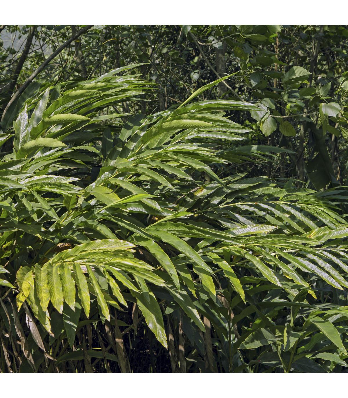 Kardamovník - osivo Kardamomu - Elettaria cardamomum - 5 ks