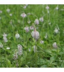 BIO skoroceľ Minutina - Plantago coronopus - predaj bio semien skorocela - 0,2 g