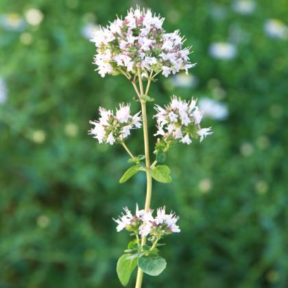 Majoránka zahradní - semínka Majoránky - rostlina Majorana hortensis pěstování - 1100 ks