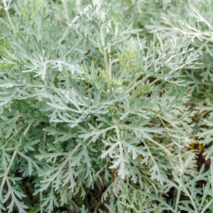 Pelyněk pravý - semínka Pelyňku - rostlina Artemisia absinthum - 0,02 g