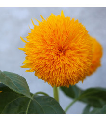 Slnečnica ročná Teddy Bear - Helianthus annuus - predaj semien slnečnice - 15 ks