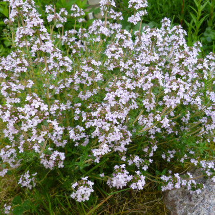 Tymián obecný - osivo Tymiánu - Thymus vulgaris - 500 ks