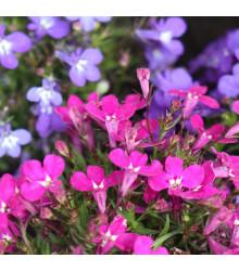Lobelka drobná Riviera Rose - Lobelia erinus - predaj semien lobelky - 0,1 g