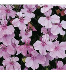 Lobelka drobná Riviera Lilac - Lobelia erinus - predaj semien lobelky - 0,1 g