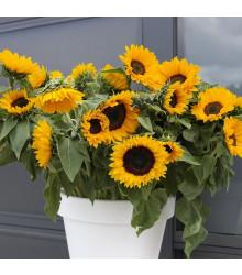 Slnečnica ročná Big Smile - Helianthus annuus - predaj semien slnečnice - 8 ks