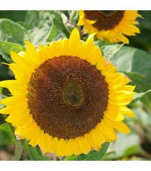 Slnečnica ročná Mezzulah - Helianthus annuus - predaj semien slnečnice - 8 ks