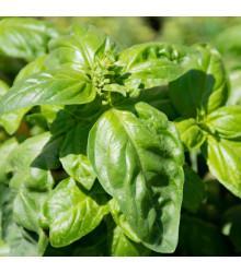 BIO bazalka zelená - Ocimum basilicum - predaj semien bio bazalky - 200 ks
