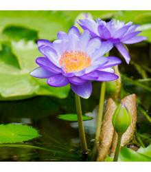 Leknín modrý - semena Leknínu - Nymphaea caerulea - 6 ks