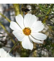Krasuľka Sonata biela - Cosmos bipinnatus - predaj semien krasuľky - 15 ks