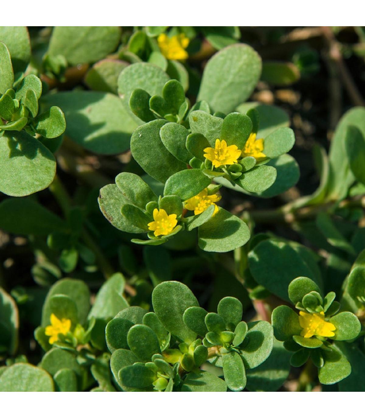 Šrucha zelná - semena Šruchy - Portulaca oleracea - 30 ks