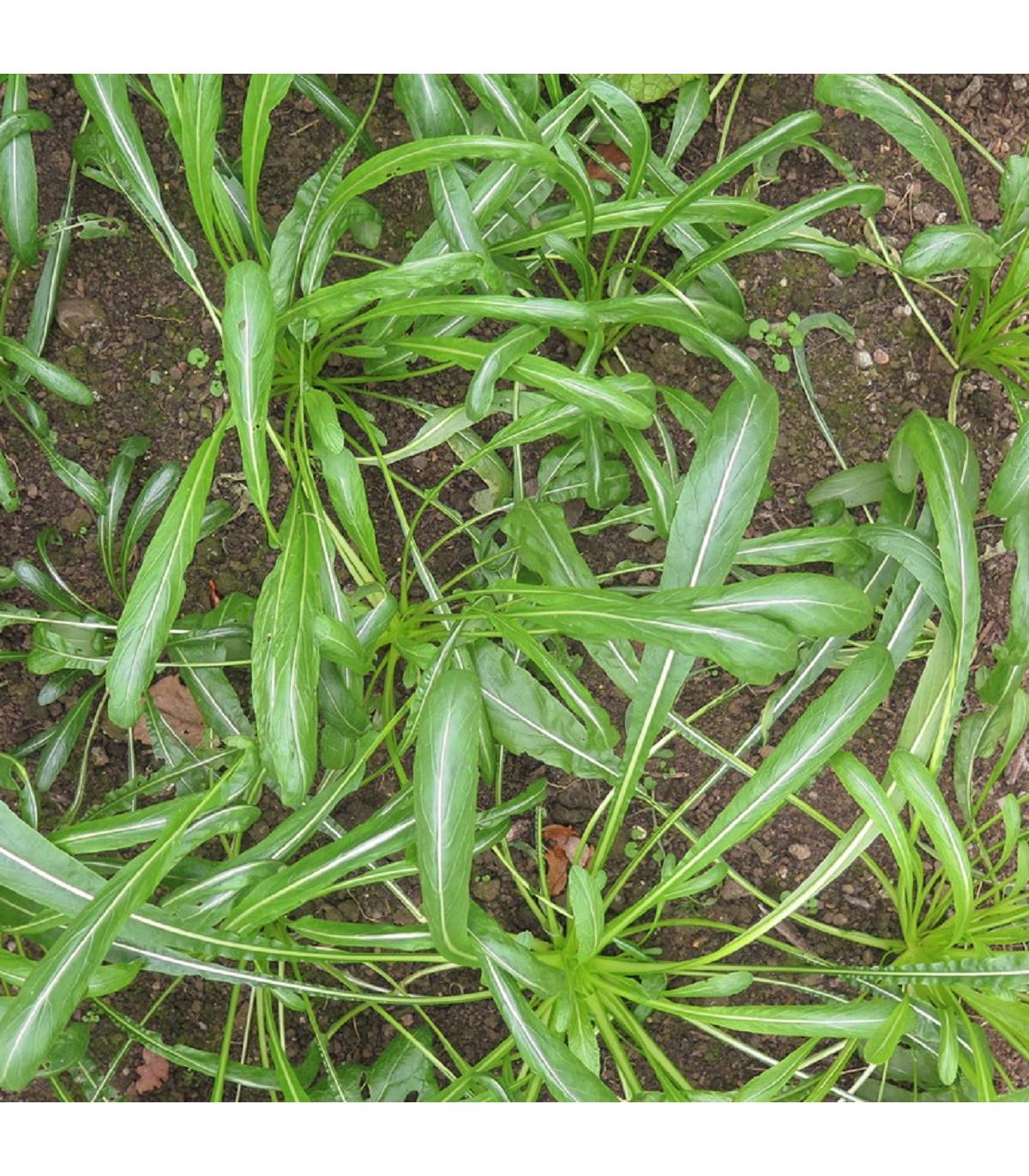 Mibuna - Japonský šalát - semená Mibuny - Brassica rapa - 40 ks