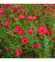 Len červený velkokvětý - semena Lnu - Linum grandiflorum - 1 g