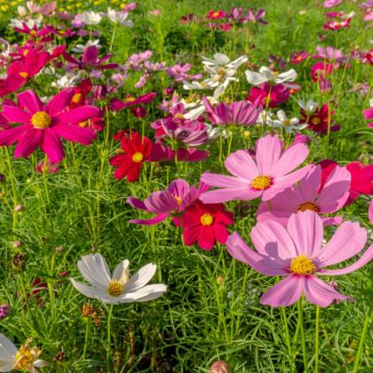 Krasuľka Sensation zmes farieb - Cosmos bipinatus - predaj semien krasuľky - 20 ks