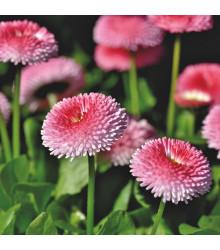 Sedmokráska obyčajná Tasso ružová s červeným stredom - Bellis perennis - predaj semien sedmokrásky - 50 ks
