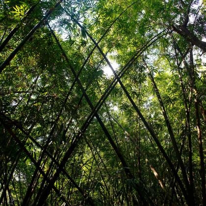 Bambus obrovský - semínko Bambusu - 2 ks - Bambusa Arundinacea