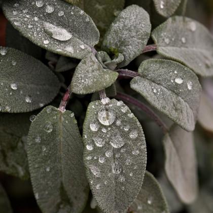 Šalvia biela - semená - 10 ks - Salvia apiana
