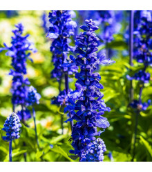 Šalvia Modrá Strata - Salvia Farinacea - Semená - 20 Ks