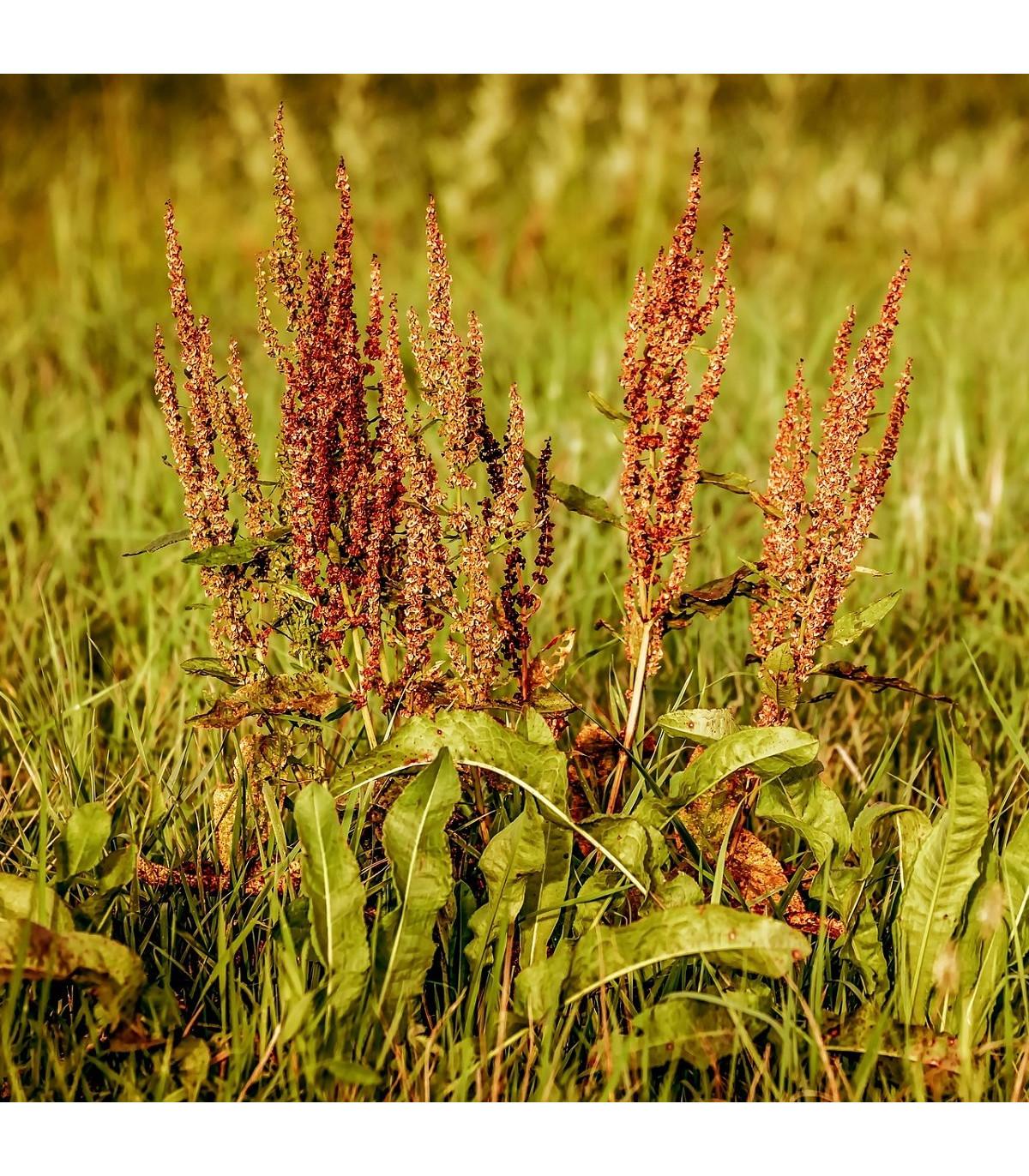Štiav kyslý - semená štiava - Rumex acetosa - 25 ks