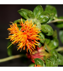Požlt farbiarsky Zanzibar - Carthamus tinctorius - predaj semien - 20 ks