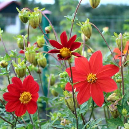 Georgína premenlivá Mignon zmes farieb - semená georgín - Dahlia variabilis - 20 ks