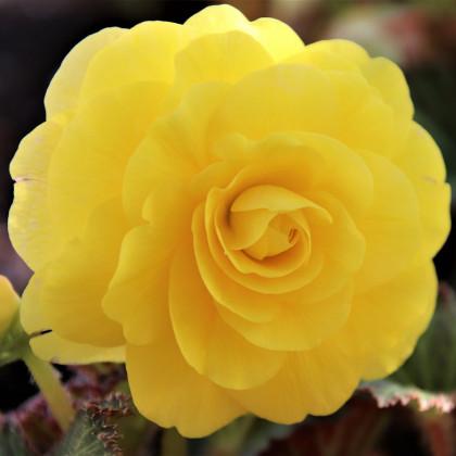 Begónia žltá - Begonia Pendula maxima - cibuľoviny -  2 ks