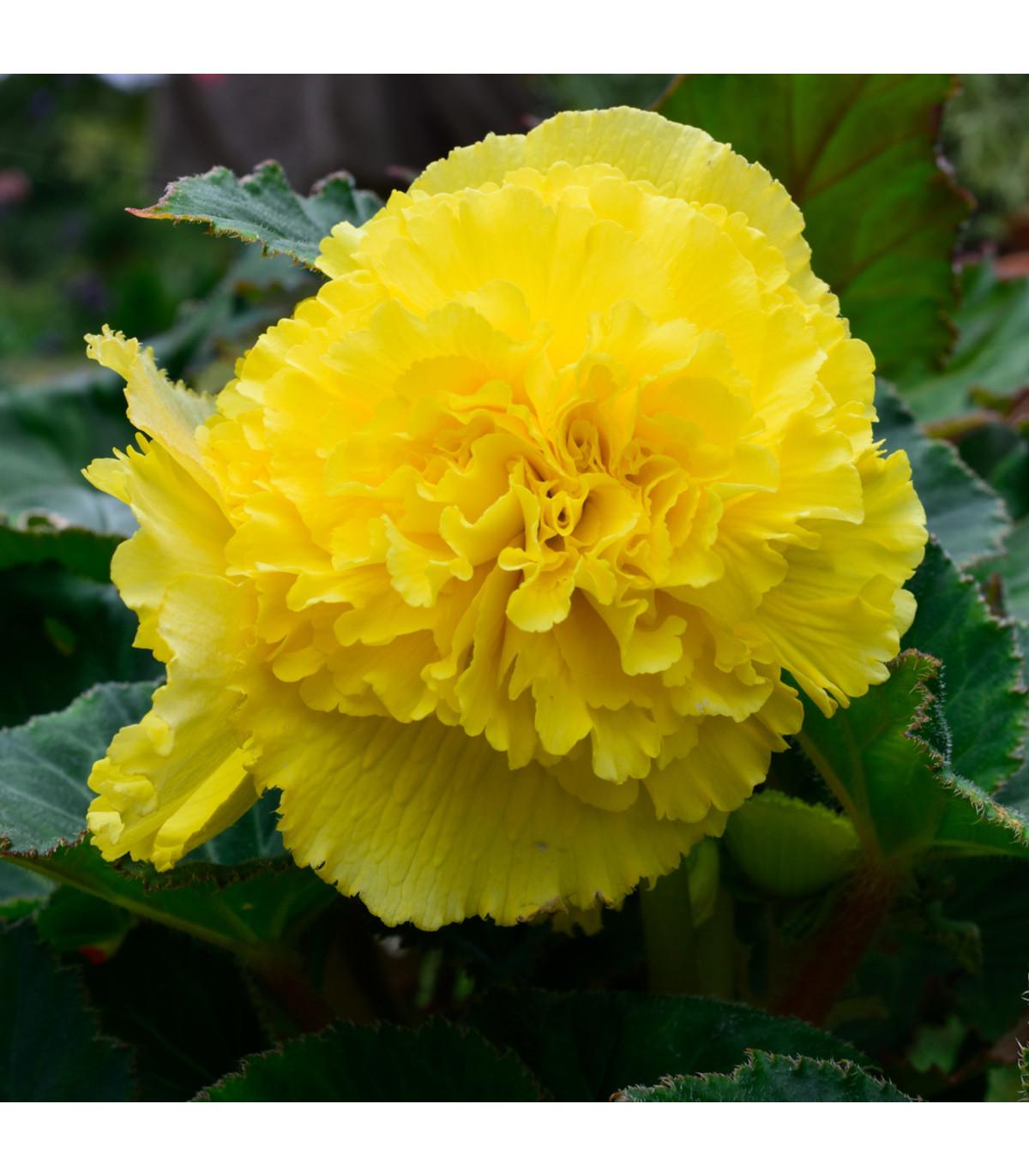 Begónia žltá rozstrapkaná - Begonia fimbriata - cibuľoviny - 2 ks