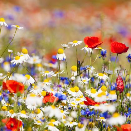 Letničky směs - divoké polní květy - 0,9 gr