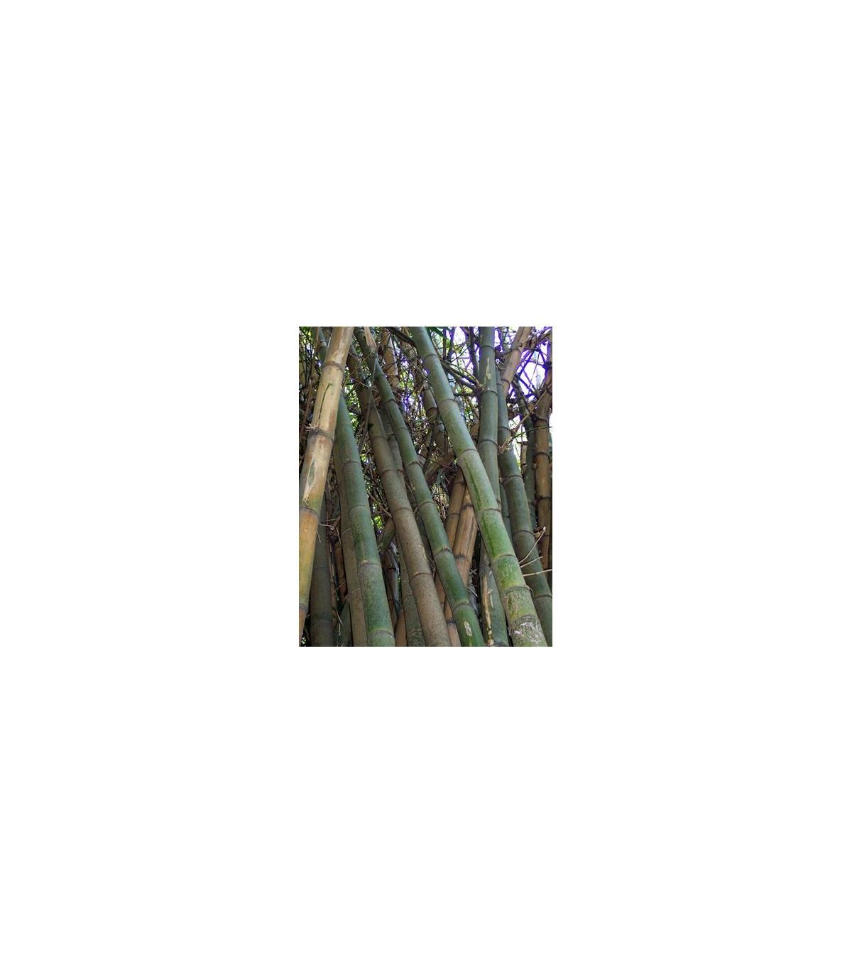 Bambus Indický - semena bambusu - 2 ks - Bambus Balcooa