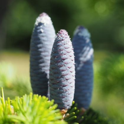 Jedľa Pindrow - semená jedle - Abies Pindrow - 8 ks