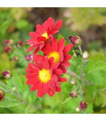 Letničky zmes - Zahradný sen v červenej - 0,9 g