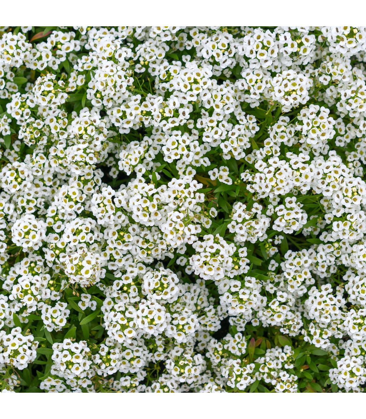 Letničky směs - Zahradní sen v bílém - semena Letniček - 0,9 gr