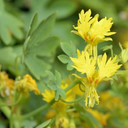 Lichořeřišnice pnoucí stěhovavá - semena Lichořeřišnice - Tropaeolum peregrinum - 2 g