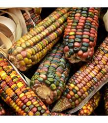 Kukuřice Ice Lady - Zea mays - semena kukuřice - 20 ks