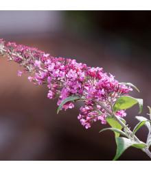 Budleja Dávidova - Buddleja davidi - semienka motýlieho kríku - zmes farieb - 20 ks