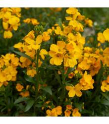 Cejchr vonný - semena Cejchru - Cheiranthus cheiri - 1 g