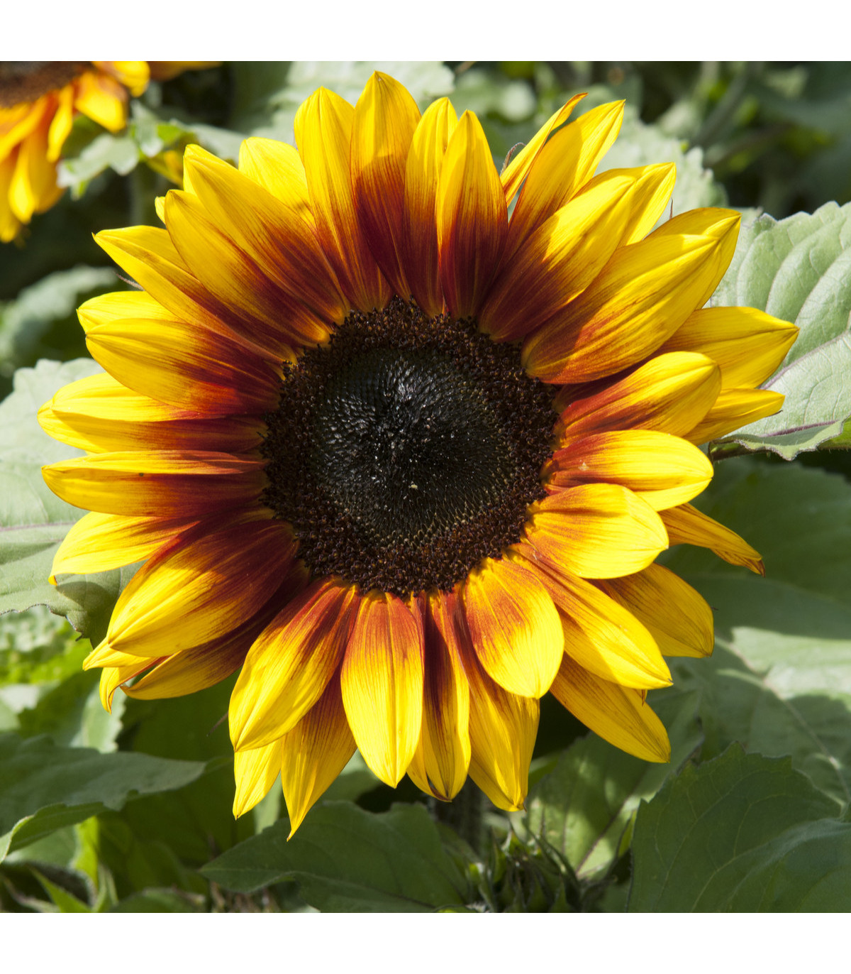 Slnečnica F1 Surprise - semená slnečnice - Helianthus annuus - 7 ks
