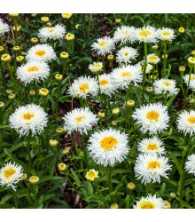 Sedmokráska stredne plnokvetá biela - Bellis perennis - semienka sedmokrásky - 0,1 g