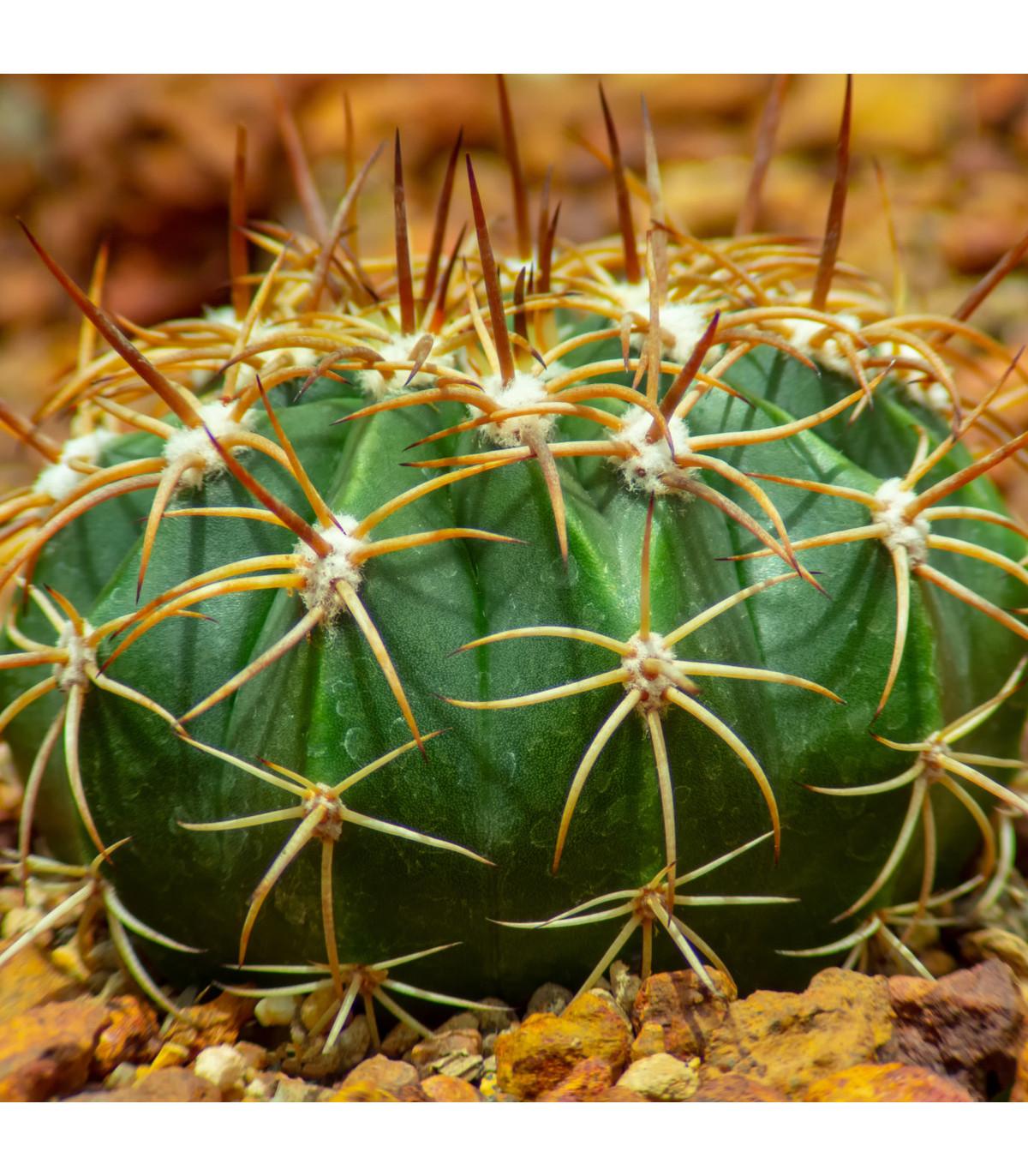 Echinokaktus Grusonov - Zlatá guľa - semená Echinokaktusu - Echinocactus grusonii - 8 ks