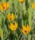 Tulipán lesný - Tulipa sylvestris - cibuľoviny - 3 ks
