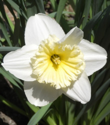 Narcis Mount hood - Narcissus Trumpet - cibuľoviny - 3 ks