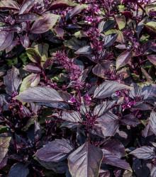 BIO Bazalka pravá červená - Ocimum basilicum - semená bazalky - 100ks