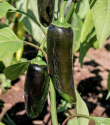 Paprika Black Knight F1 - Capsicum annuum - semienka papriky - 7ks