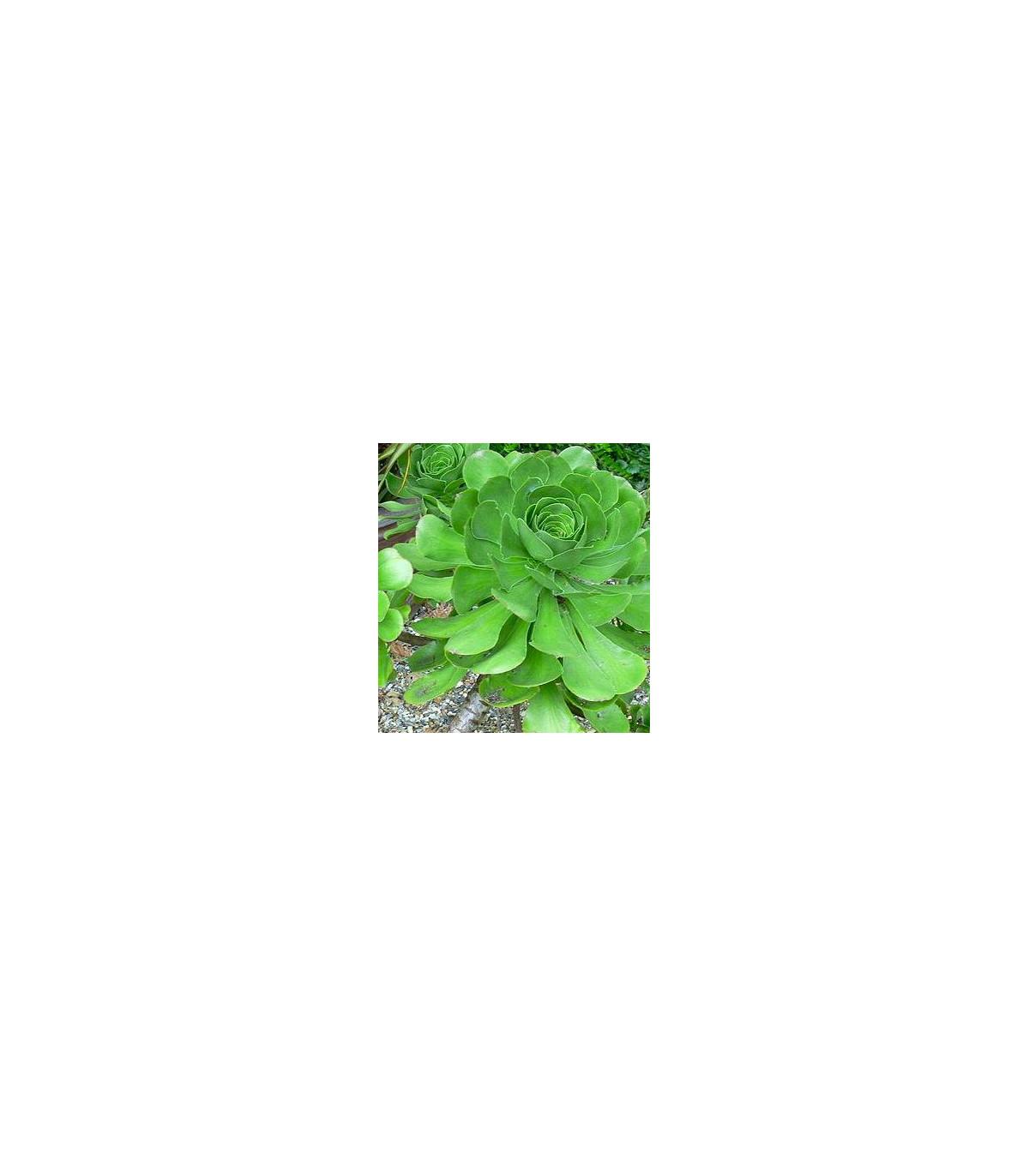 Růžicovka - semínka Růžicovky - rostlina Aeonium ciliatum pěstování - 10 ks