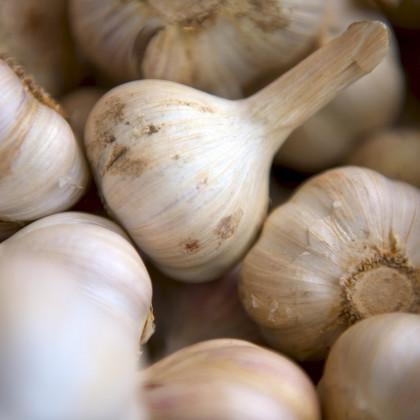 Sadbový cesnak Lukan - Allium sativum - nepaličiak - cibuľoviny cesnaku - 3–4 ks