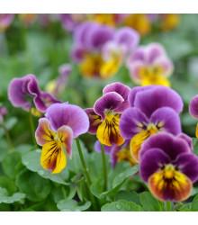 Fialka rohatá Sorbet Antique shades - Viola cornuta - semena fialky - 20ks