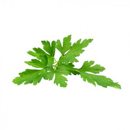 Petržlen Clivi - semená - 1 g - Petroselinum crispum