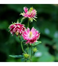 Orlíček Nora Barlow - Aquilegia vulgaris - semená orlíčka - 30ks