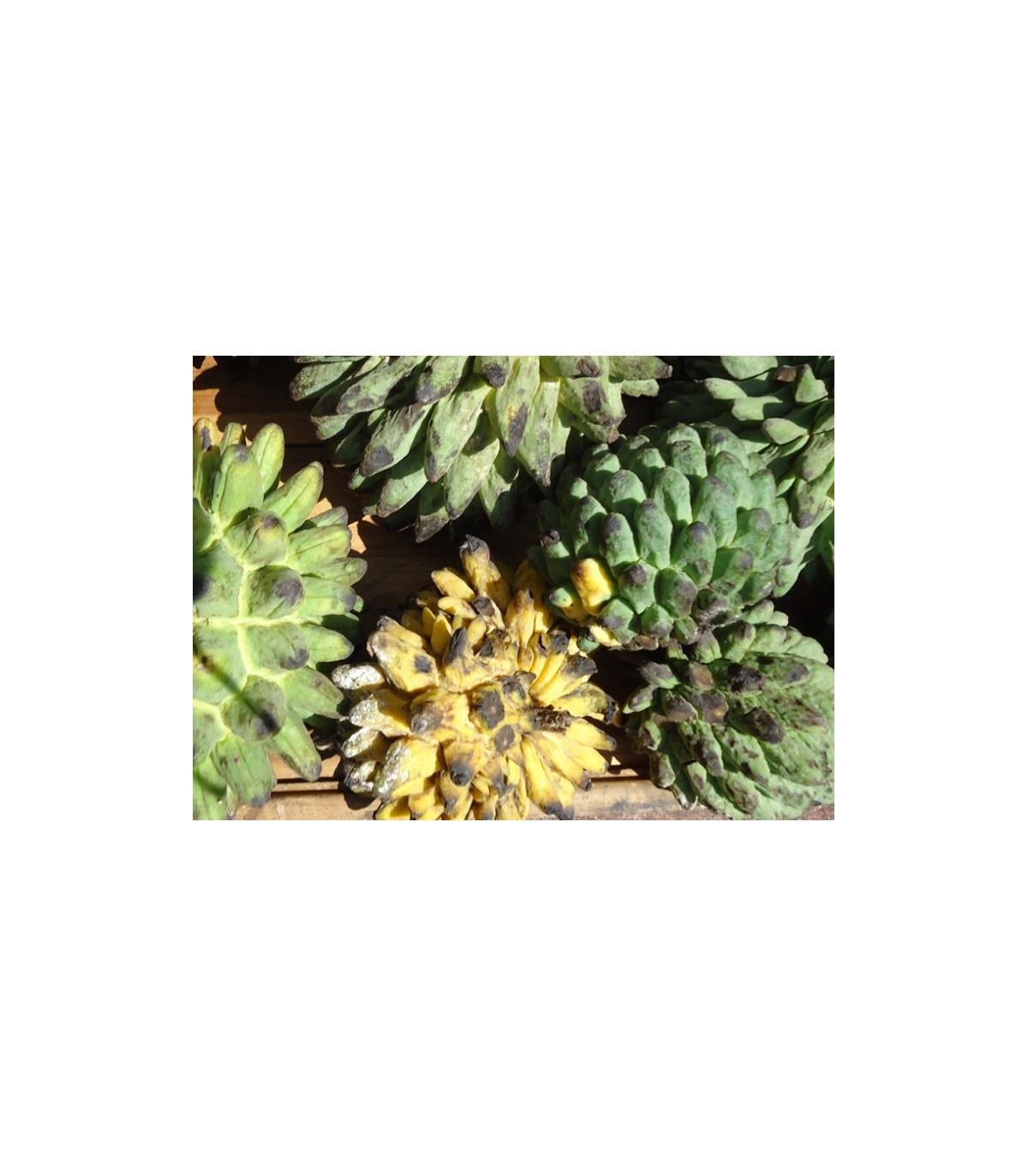 Rollinia deliciosa - semená - 3 ks