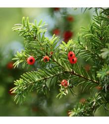 Tis červený - Taxus baccata - semená - 5 ks
